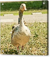 Goose Goose Acrylic Print by Artist and Photographer Laura Wrede
