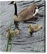 Goose Plus Two Acrylic Print by Denise White