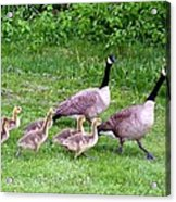 Goose Step Acrylic Print by Will Borden