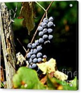 Grape Harvest Acrylic Print by Neal  Eslinger