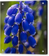 Grape Hyacinth Acrylic Print by Adam Romanowicz