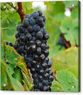 Grapes Acrylic Print by Hannes Cmarits
