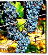 Grapes On The Vine Acrylic Print by Kay Gilley