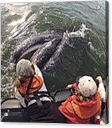 Gray Whale Calf And Tourists Baja Acrylic Print by Flip Nicklin