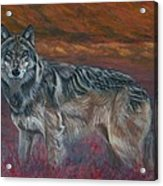 Gray Wolf Acrylic Print by Tom Blodgett Jr