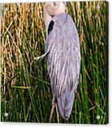 Great Blue Heron Acrylic Print by Edward Fielding