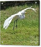 Great Egret Landing Acrylic Print by Theresa Willingham