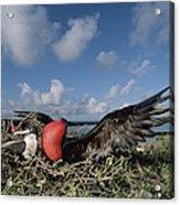 Great Frigatebird Female Eyes Courting Acrylic Print by Tui De Roy