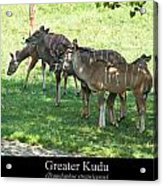 Greater Kudu Acrylic Print by Chris Flees