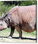 Greater One-horned Asian Rhino Acrylic Print by Laurel Talabere