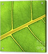 Green Leaf Close Up Acrylic Print by Elena Elisseeva