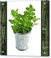Green Oregano Herb In Small Pot Acrylic Print by Elena Elisseeva