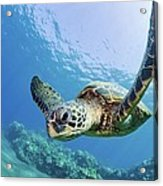 Green Sea Turtle - Maui Acrylic Print by M Swiet Productions