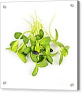 Green Sunflower Sprouts Acrylic Print by Elena Elisseeva