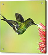 Green Thorntail Hummingbird Acrylic Print by Anthony Mercieca