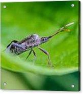 Grey Plant Bug 1 Acrylic Print by Douglas Barnett