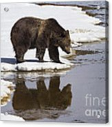 Grizzly Bear Reflected In Water Acrylic Print by Mike Cavaroc