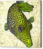 Guinea Fowl Puffer Fish In Green Acrylic Print by Bill Caldwell -        ABeautifulSky Photography