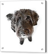 Hairy Dog Photographic Caricature Acrylic Print by Natalie Kinnear