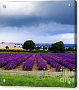 Hampshire Lavender Field Acrylic Print by Terri Waters