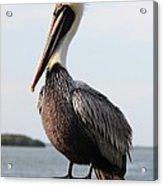Handsome Brown Pelican Acrylic Print by Carol Groenen