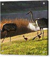 Happy Sandhill Crane Family Acrylic Print by Carol Groenen
