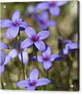 Happy Tiny Bluet Wildflowers Acrylic Print by Kathy Clark