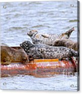 Harbour Seals Lounging Acrylic Print by Sharon Talson