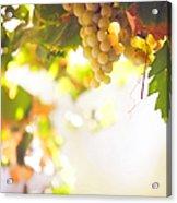 Harvest Time. Sunny Grapes I Acrylic Print by Jenny Rainbow