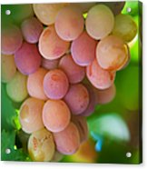 Harvest Time. Sunny Grapes Acrylic Print by Jenny Rainbow
