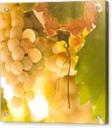 Harvest Time. Sunny Grapes Vi Acrylic Print by Jenny Rainbow