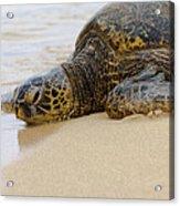 Hawaiian Green Sea Turtle 3 Acrylic Print by Brian Harig