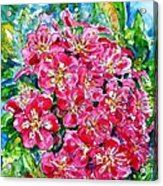 Hawthorn Blossom Acrylic Print by Zaira Dzhaubaeva