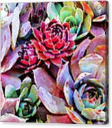 Hens And Chicks Series - Copper Tarnish  Acrylic Print by Moon Stumpp