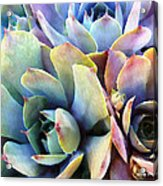 Hens And Chicks Series - Soft Tints Acrylic Print by Moon Stumpp
