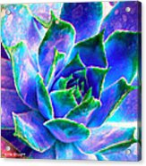 Hens And Chicks Series - Touches Of Blue  Acrylic Print by Moon Stumpp