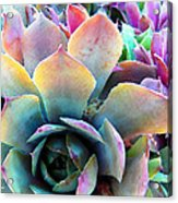 Hens And Chicks Series - Unfolding Acrylic Print by Moon Stumpp