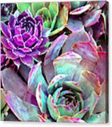 Hens And Chicks Series - Urban Rose Acrylic Print by Moon Stumpp