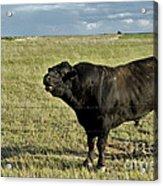 Hereford Bull Acrylic Print by Mark Newman