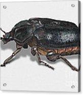 Hermit Beetle - Russian Leather Beetle - Osmoderma Eremita - Pique Prune - Erakkokuoriainen Acrylic Print by Urft Valley Art