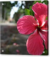 Hibiscus Acrylic Print by Frederico Borges