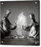 Hippo's Fighting Acrylic Print by Johan Swanepoel
