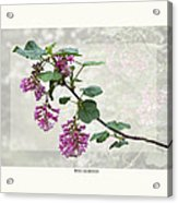 Ribes Sanguineum - California Currant Acrylic Print by Saxon Holt