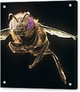 Honey Bee, Sem Acrylic Print by Science Photo Library