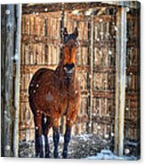 Horse And Snow Storm Acrylic Print by Dan Friend