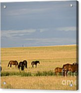 Horses In Saskatchewan Acrylic Print by Mark Newman