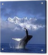 Humpback Whale Breaches In Clearing Fog Acrylic Print by John Hyde
