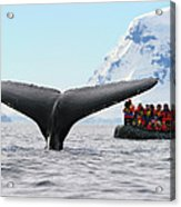 Humpback Whale Fluke  Acrylic Print by Tony Beck