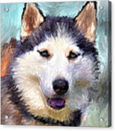 Huskies Acrylic Print by Yury Malkov