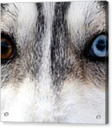 Husky Eyes Acrylic Print by Keith Allen